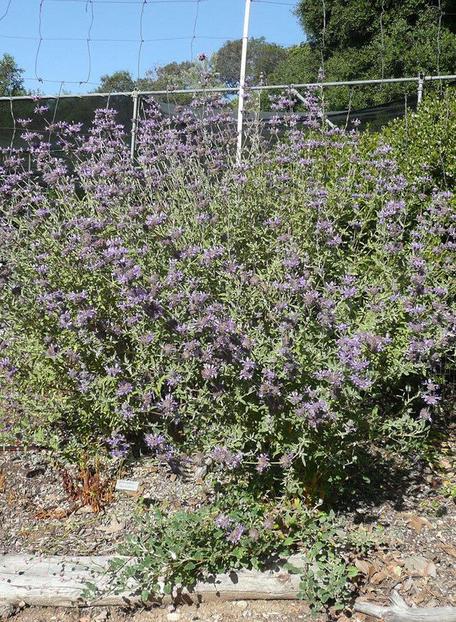 Salvia 'Allen Chickering' - Allen Chickering Sage (Plant)