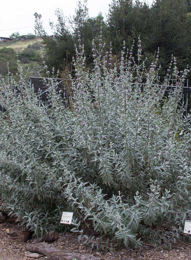 Salvia 'Desperado' - Desperado Sage (Plant)