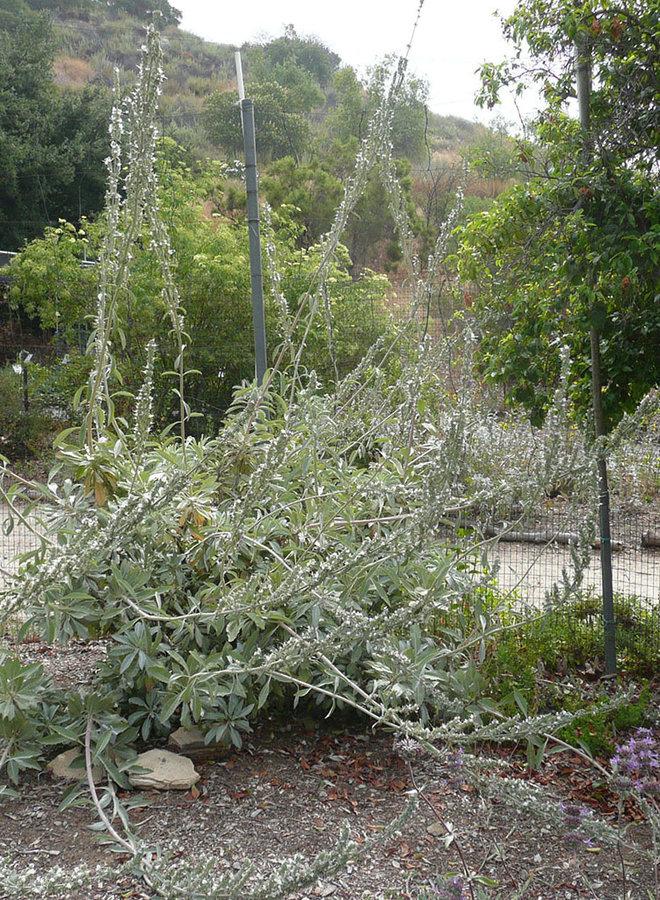 Salvia apiana - White Sage (Plant)