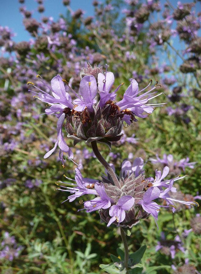 Salvia clevelandii 'Aromas' - Aromas Cleveland Sage (Plant)