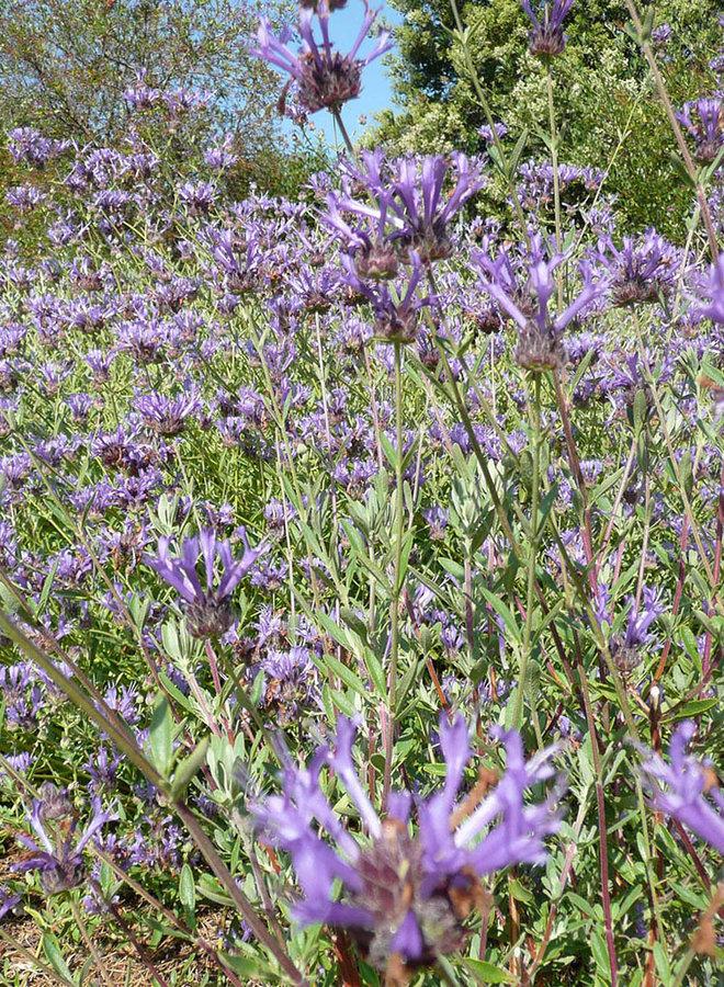 Salvia clevelandii 'Winnifred Gilman' - Winnifred Gilman Cleveland Sage (Plant)
