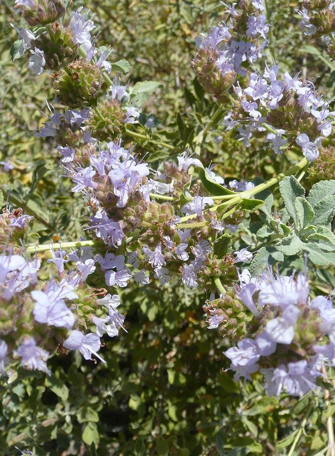 Salvia dorrii hybrid - Great Basin Sage hybrid (Plant)