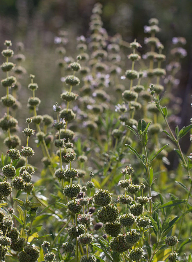 Salvia mellifera - Black Sage (Plant)