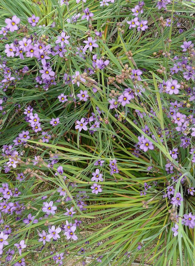 Sisyrinchium bellum - Blue Eyed Grass (Plant)