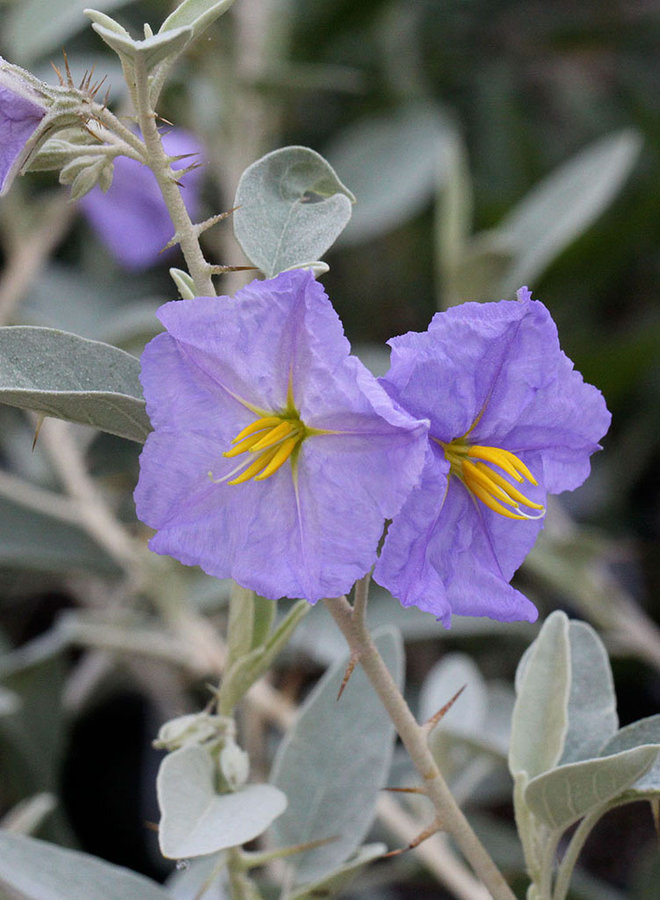 Solanum hindsianum - Mariola, Baja Nightshade (Plant)