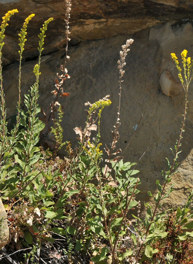 Solidago velutina ssp. californica - Western Goldenrod, California Goldenrod (Plant)