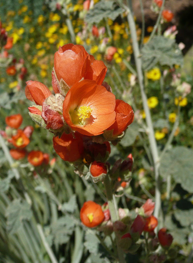 Sphaeralcea ambigua - Apricot Mallow (Plant)