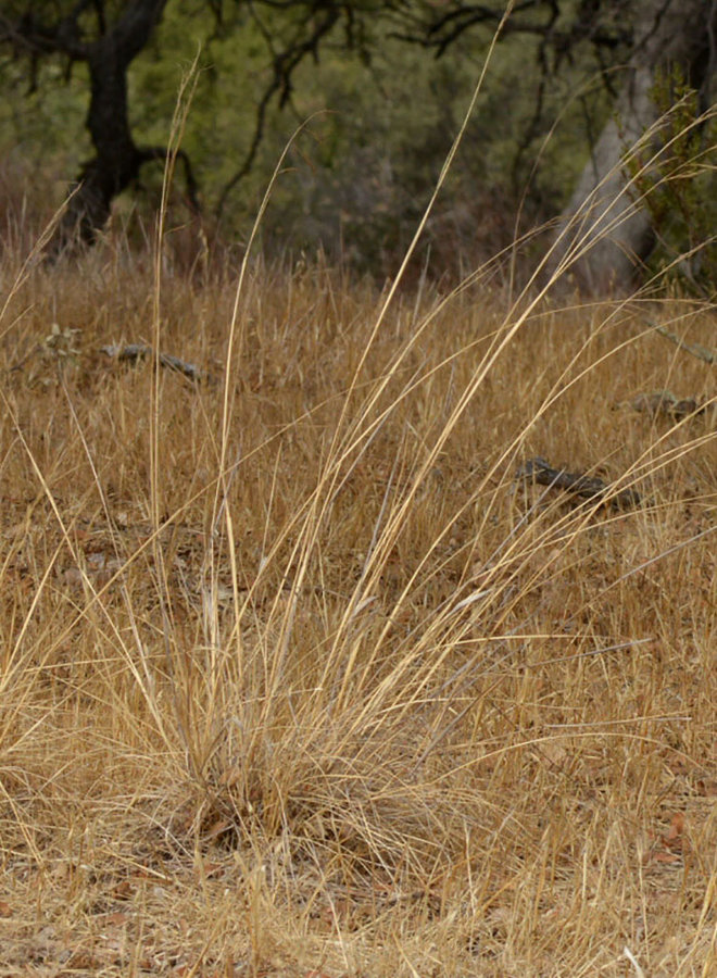 Stipa cernua - Nodding Needlegrass (Plant)