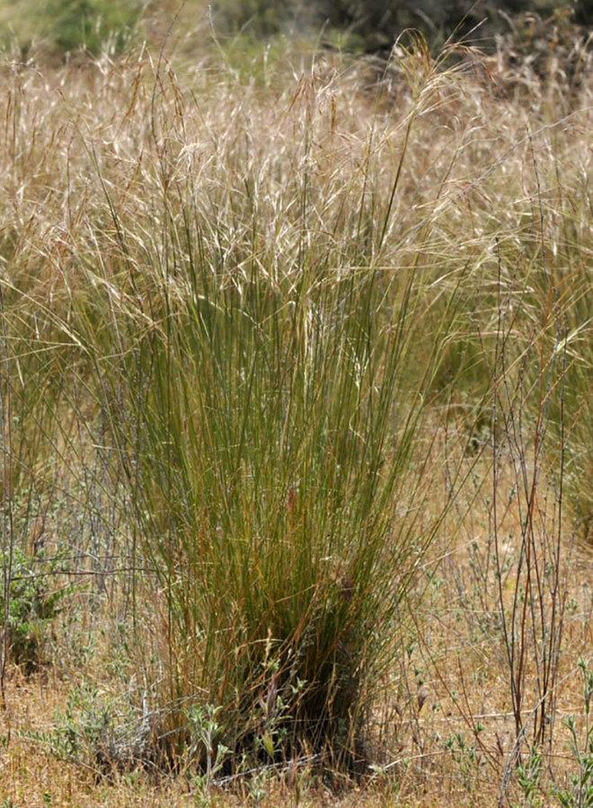 Stipa pulchra - Purple Needlegrass (Plant)