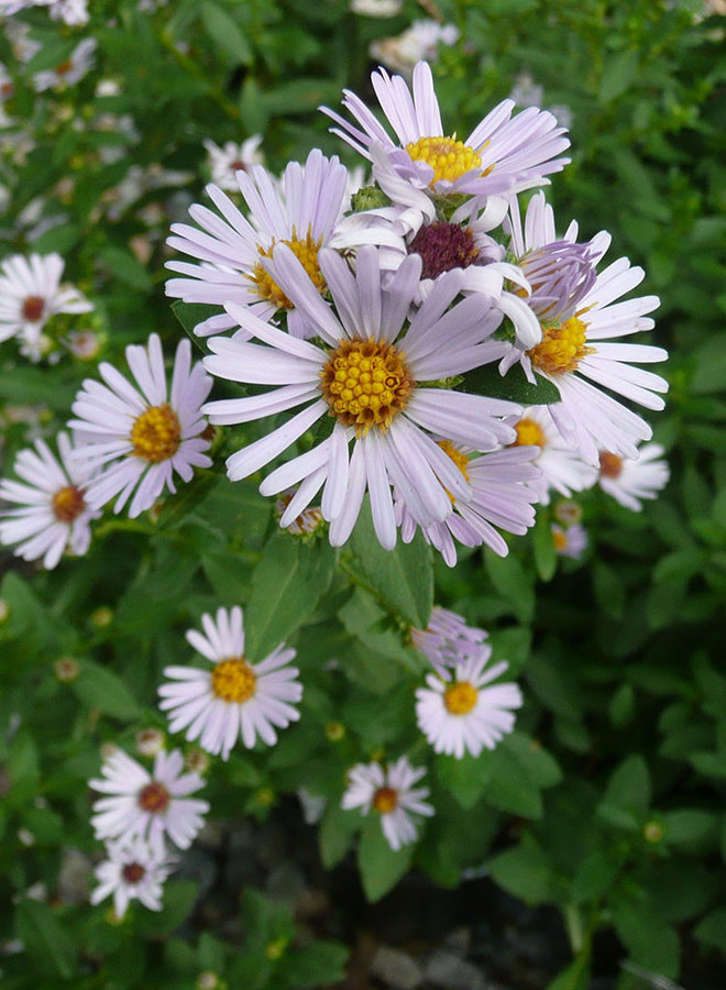 Symphyotrichum chilense - Coast Aster, California Aster, Pacific Aster (Plant)