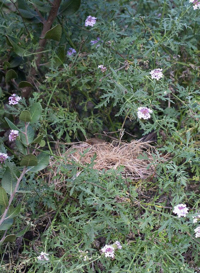 Verbena lilacina 'Paseo Rancho' - Paseo Rancho Lilac Verbena (Plant)
