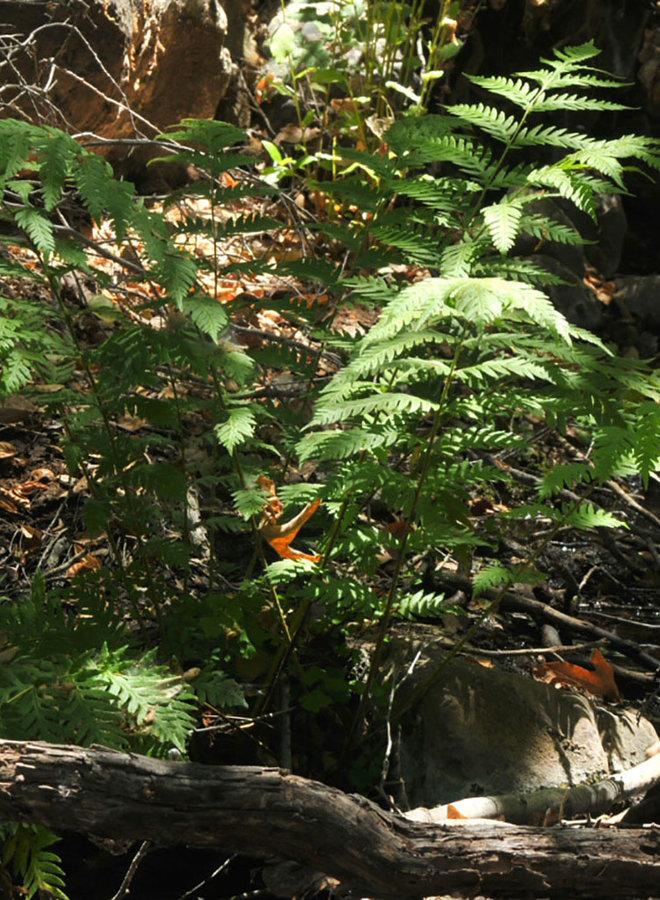 Woodwardia fimbriata - Giant Chain Fern (Plant)