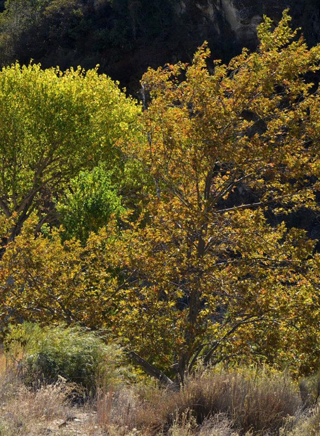 Populus fremontii ssp. fremontii - Fremont or Gila Cottonwood, Alamo (Plant)