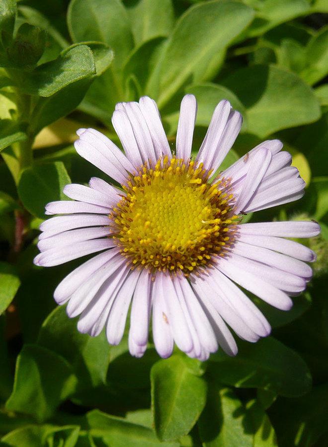 Erigeron glaucus 'Cape Sebastian' - Cape Sebastian Seaside Daisy (Plant)