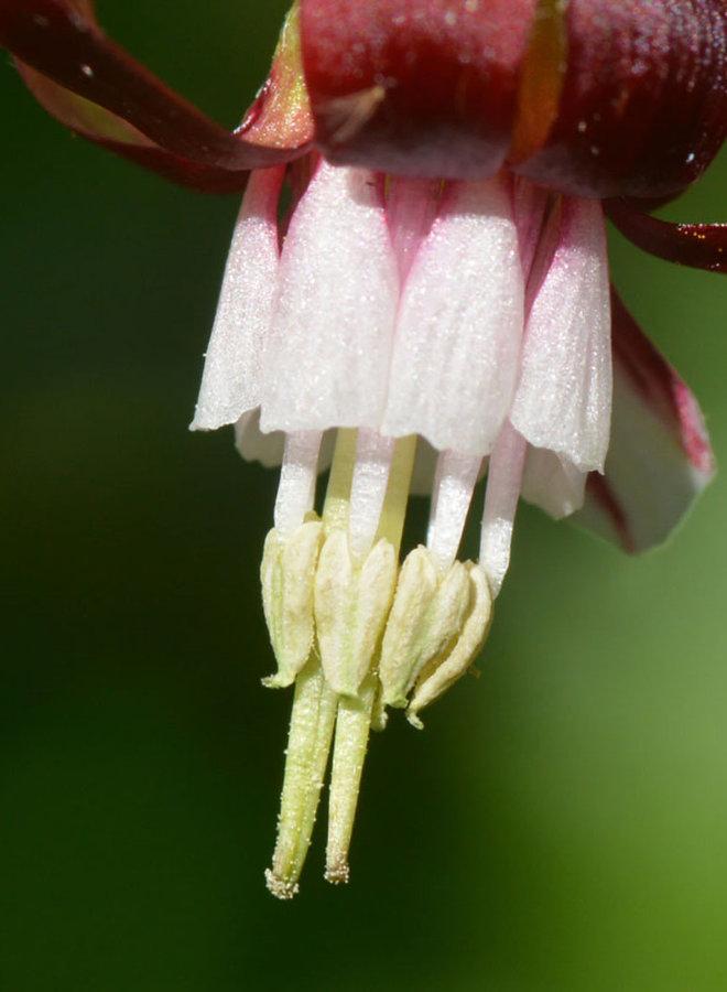 Ribes menziesii var. menziesii - Canyon Gooseberry (Plant)