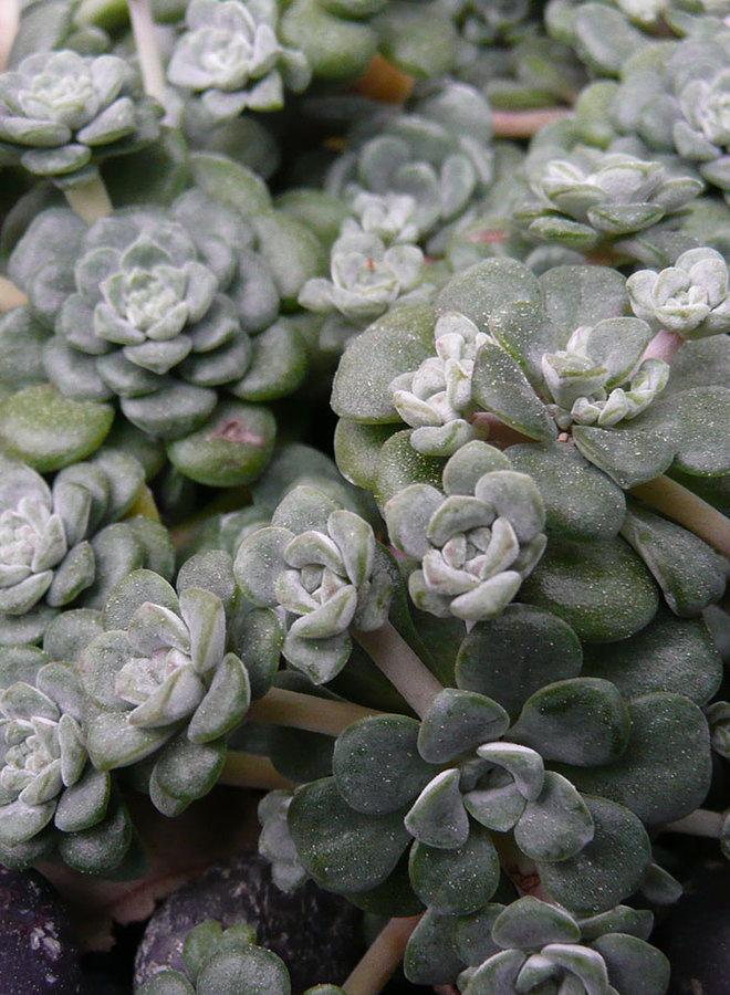 Sedum spathulifolium 'Cape Blanco' - Cape Blanco Common Stonecrop (Plant)