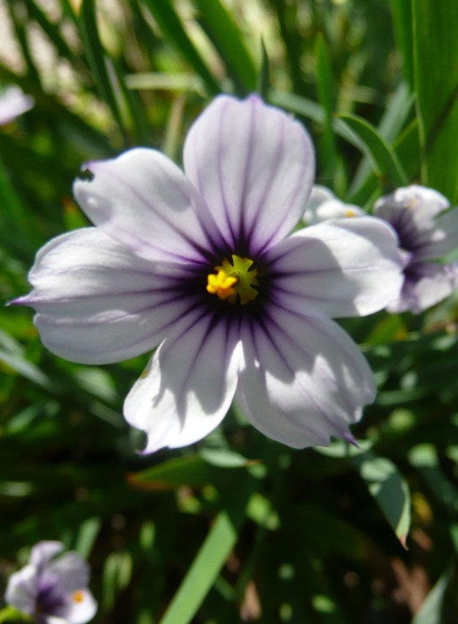 Sisyrinchium bellum 'Fort Bragg' - Fort Bragg Blue Eyed Grass (Plant)