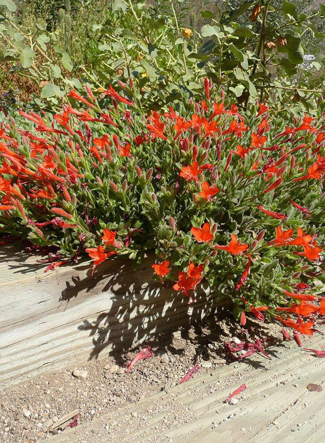 Epilobium 'Everett's Choice' - Everett's Choice California Fuchsia (Plant)