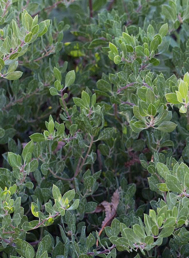 Arctostaphylos franciscana - Franciscan Manzanita (Plant)