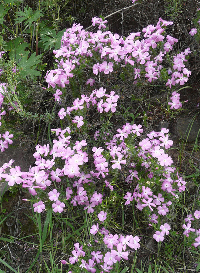 Linanthus californicus - Prickly Phlox (Plant)