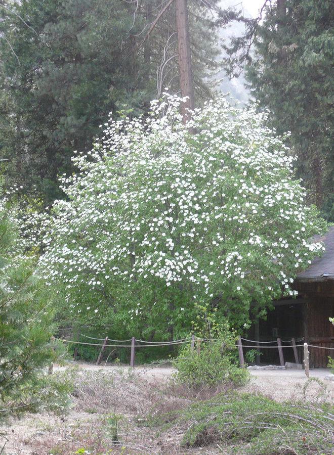 Cornus nuttallii - Mountain Dogwood (Plant)