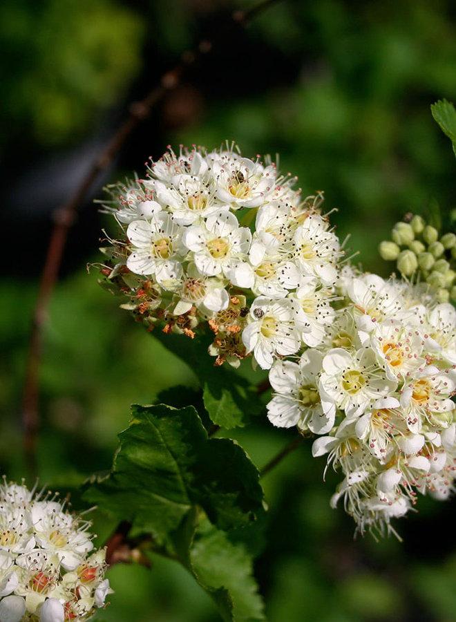 Physocarpus capitatus - Ninebark (Plant)