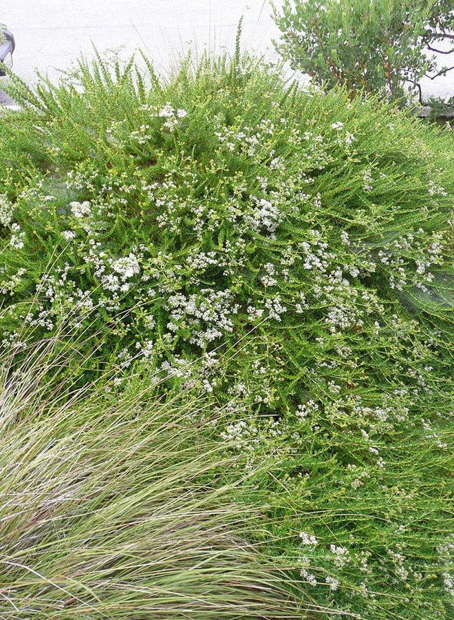 Eriogonum fasciculatum 'Bruce Dickinson' - Bruce Dickinson California Buckwheat (Plant)