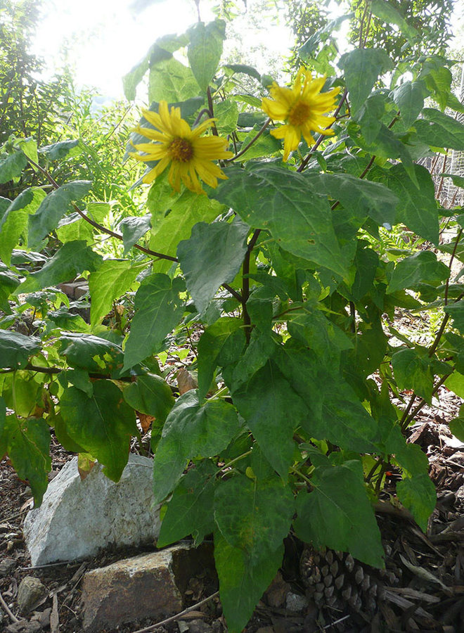 Venegasia carpesioides - Canyon Sunflower (Plant)