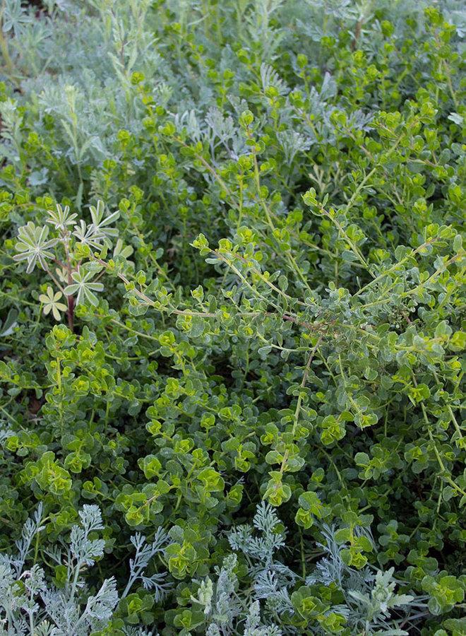 Baccharis pilularis ssp. pilularis 'Pigeon Point' - Pigeon Point Coyote Brush (Plant)