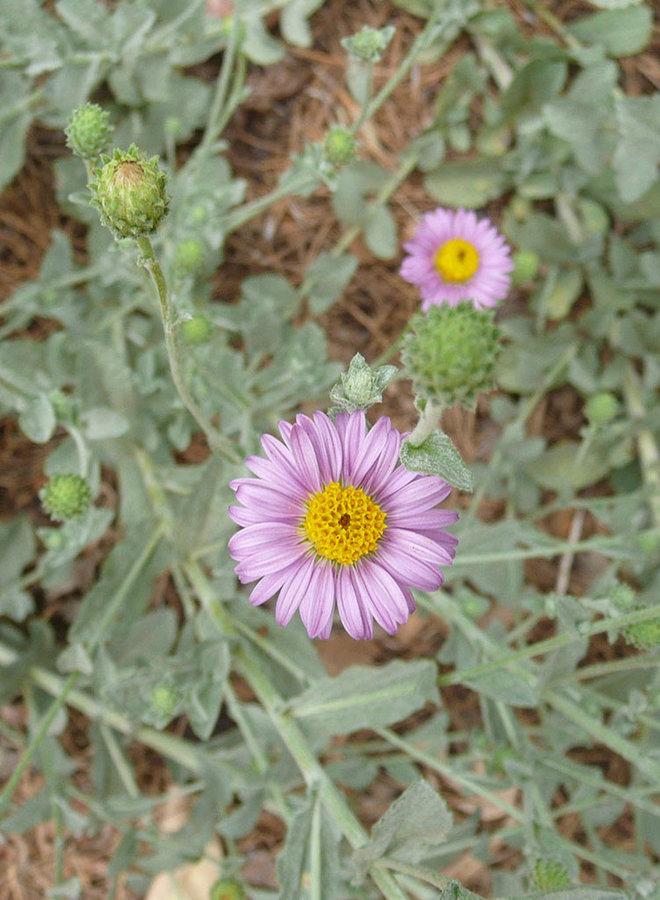 Corethrogyne filaginifolia 'Smart Aster' - Smart Aster Common Sandaster (Plant)