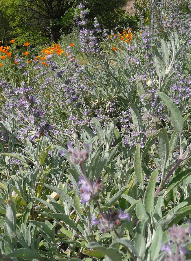 Salvia 'Gracias' - Gracias Sage (Plant)
