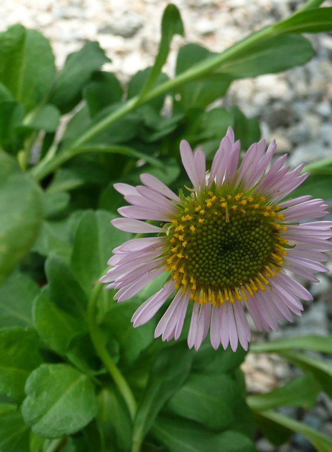 Erigeron glaucus 'Ron's Pink' - Ron's Pink Seaside Daisy (Plant)