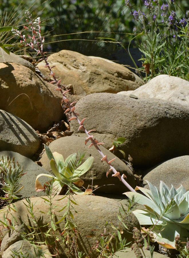 Dudleya pulverulenta - Chalk Dudleya (Plant)