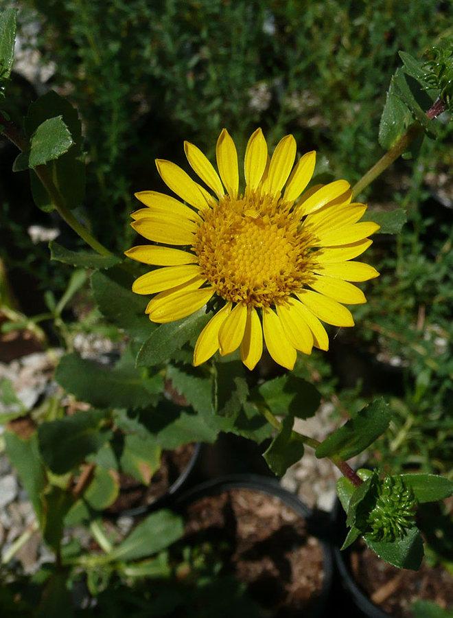 Grindelia stricta var. platyphylla - Pacific Gumplant (Plant)