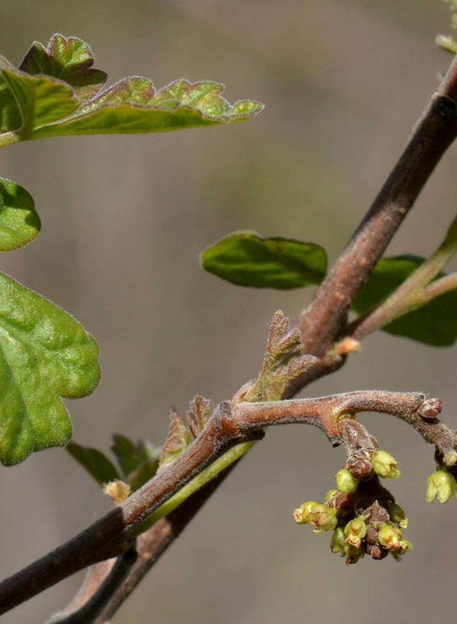 Rhus aromatica - Fragrant Sumac, Basket Bush (Plant)