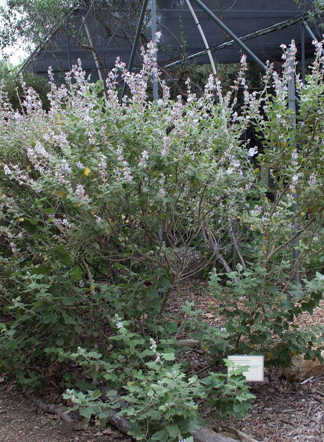 Malacothamnus clementinus - San Clemente Bush Mallow (Plant)