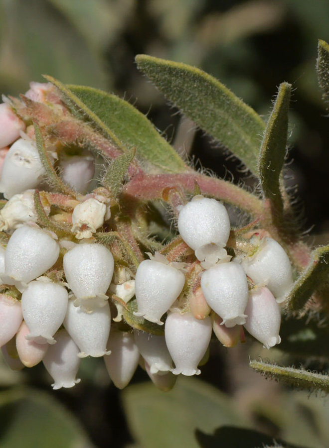 Arctostaphylos glandulosa ssp. mollis - Eastwood's Manzanita, Transverse Range Manzanita (Plant)