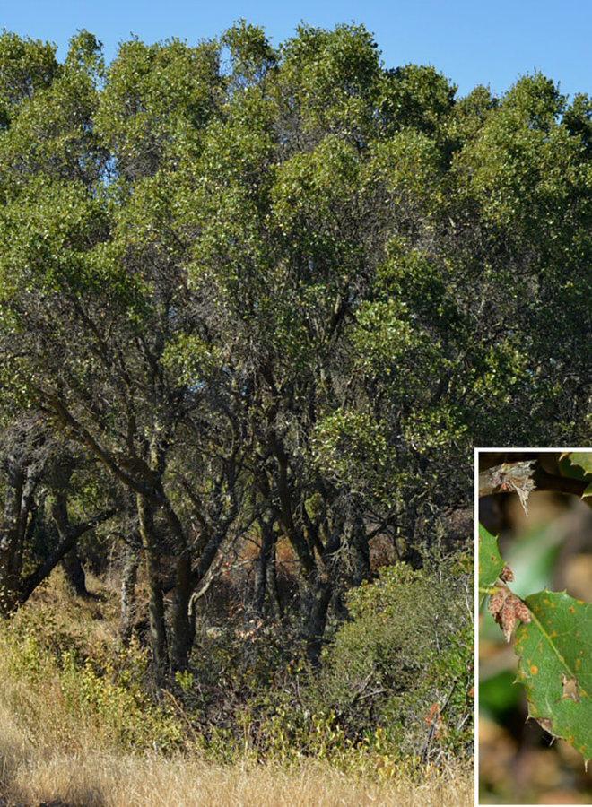 Quercus wislizeni var. wislizeni - Interior Live Oak (Plant)