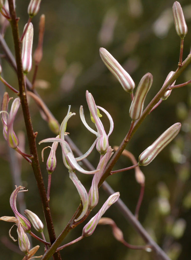 Chlorogalum pomeridianum var. pomeridianum - Soap Plant, Wavyleaf Soap Plant (Plant)