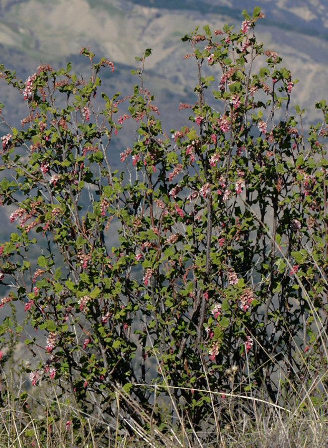 Ribes malvaceum var. viridifolium - Chaparral Currant (Plant)