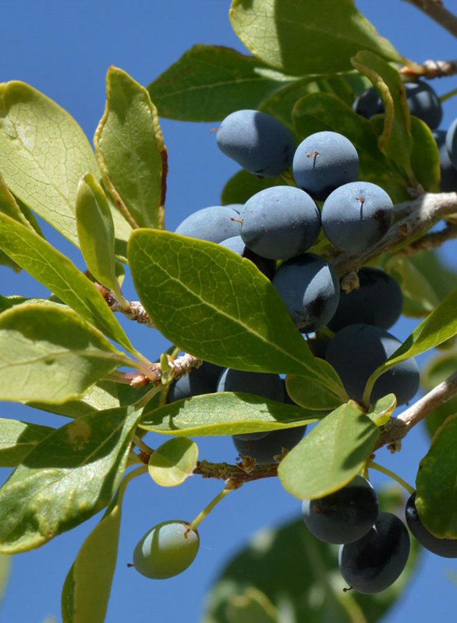Forestiera pubescens - Desert Olive (Plant)