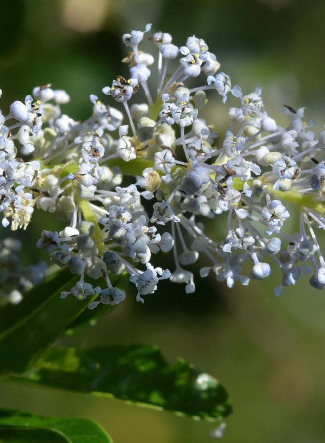 Ceanothus spinosus - Greenbark Ceanothus (Plant)