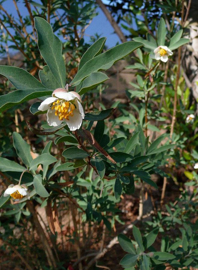 Crossosoma californicum - California Rockflower (Plant)