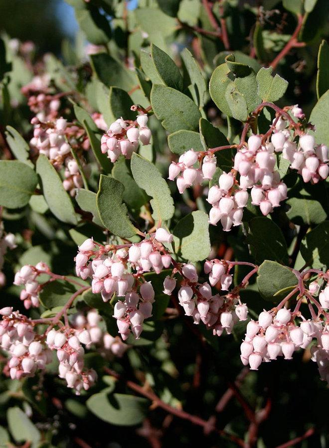 Arctostaphylos australis - Southern Manzanita (Plant)