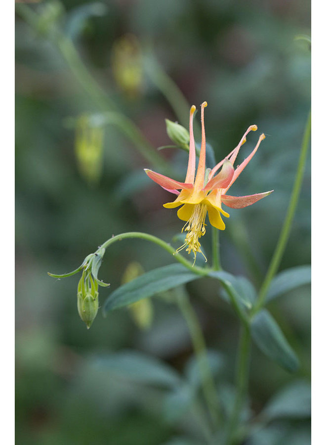 Aquilegia formosa - Red or Scarlet Columbine (Plant)