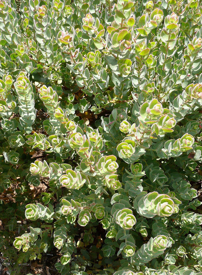 Arctostaphylos auriculata 'Knobcone Point' - Knobcone Point Mount Diablo Manzanita (Plant)