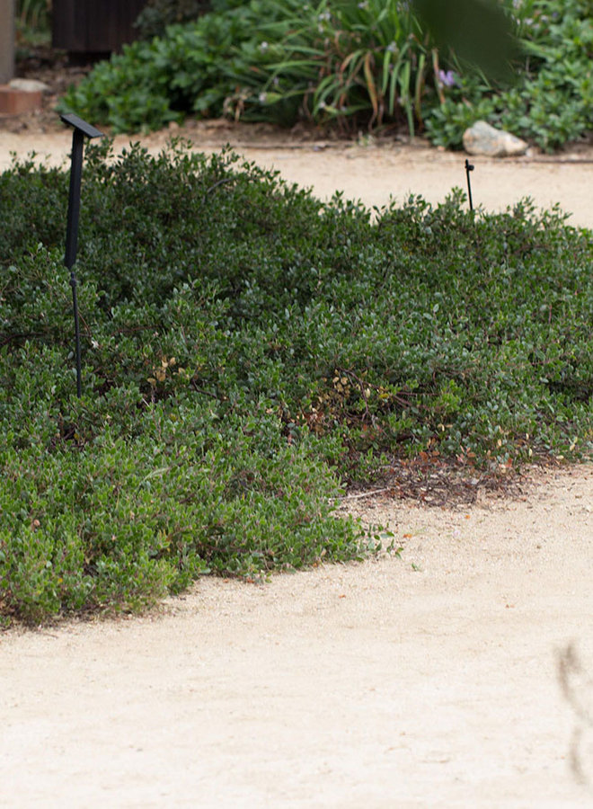Arctostaphylos hookeri 'Ken Taylor' - Ken Taylor Hooker's Manzanita (Plant)