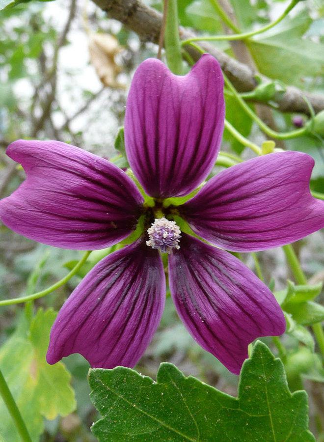 Malva 'Black Heart' - Black Heart Island Mallow (Plant)