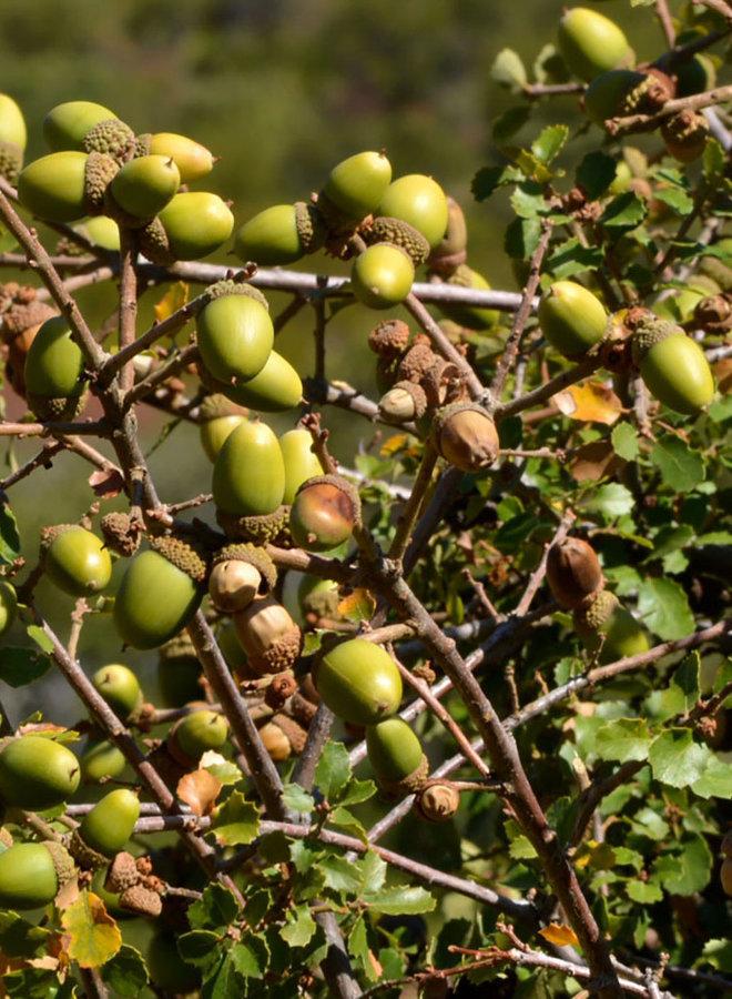 Quercus berberidifolia