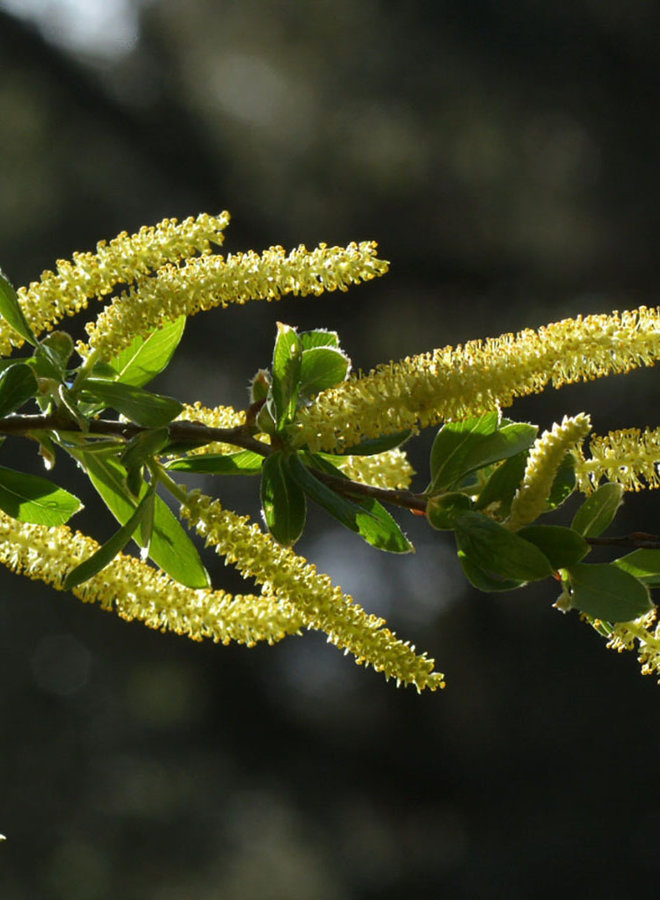 Salix laevigata - Red Willow (Plant)